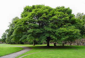 Sycamore tree planted by the Duchess of Albany in Beaumont Park.